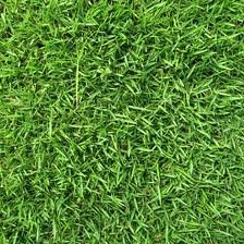 Zenith Zoysia Grass Seed- 1# Bulk Pound
