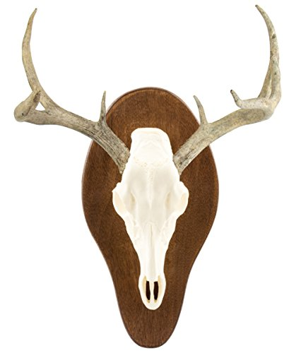 Review Field Champ Replica Skull Mount Kit, Bone White