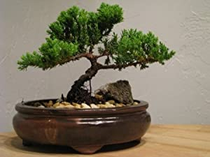 9GreenBox - Juniper Tree Bonsai Best Gift