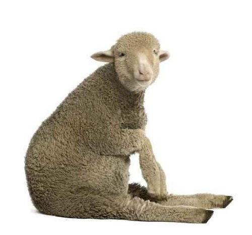 Animal Wall Decals Merino Lamb - 24 Inches X 22 Inches - Peel And Stick Removable Graphic front-773981