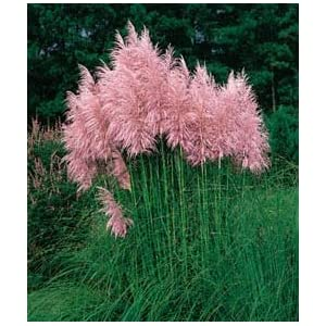 White Pampas Grass 200 Seeds Cortaderia