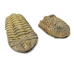 Calymine Trilobite Fossil 2-4\