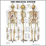 Skeletal System Anatomical Chart Laminated