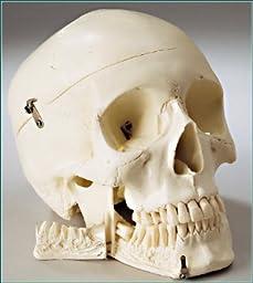Denoyer-Geppert - Standard Premier 4-Part Skull - -