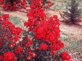 Crape Myrtle Dynamite Tree