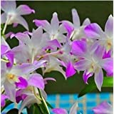 Free Ship Hydroponic Orchid Seeds,indoor Flowers Bonsai Four Seasons,Phalaenopsis Orchids - 40 Seeds Seeds - B01LXCE0A6