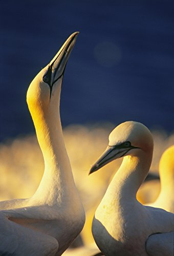 yves-marcoux-design-pics-gannets-parc-national-de-lile-bonaventure-et-du-rocher-perce-gaspesie-regio