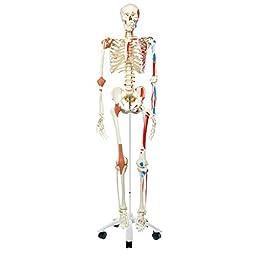 3B Scientific A13 Plastic Super Human Skeleton Model \