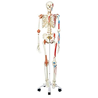 "3B Scientific A13 Plastic Super Human Skeleton Model ""Sam"" - Flexible with Muscles and Ligaments On a Pelvic Mounted Stand, 66.9"" Height"