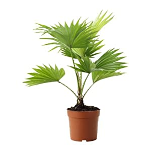 ikea livistona rotundifolia plante en pot repose pied. Black Bedroom Furniture Sets. Home Design Ideas
