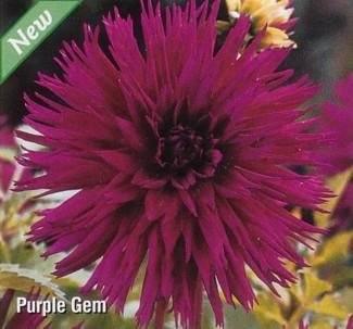 Buy Purple Gem Semi-Cactus Dahlia Tuber – Vivid Purple!