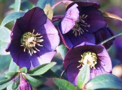 Buy Metallic Blue Helleborus 4 Seeds Christmas Rose – FREE SHIPPING ON ADDITIONAL HIRTS SEEDS