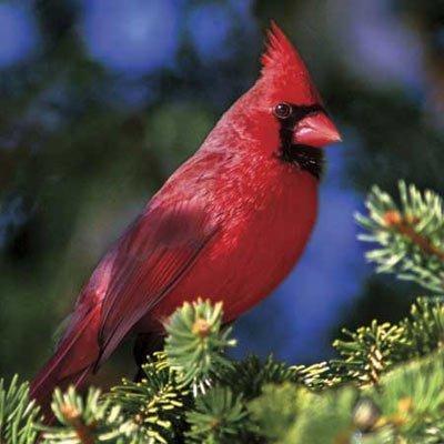 Northern-Cardinal-II-500-Piece-Jigsaw-Puzzle-Made-by-Buffalo