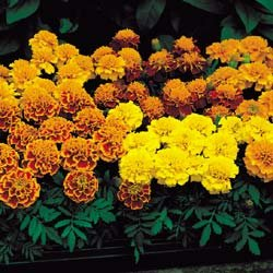Marigold Janie Mix - Park Seed Marigold Seeds - Buy Marigold Janie Mix - Park Seed Marigold Seeds - Purchase Marigold Janie Mix - Park Seed Marigold Seeds (Park Seed, Home & Garden,Categories,Patio Lawn & Garden,Plants & Planting,Outdoor Plants,by Moisture Needs,Regular Watering)