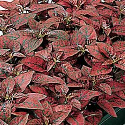 Polka Dot Plant Splash Select Red - Park Seed Perennial Seeds - Buy Polka Dot Plant Splash Select Red - Park Seed Perennial Seeds - Purchase Polka Dot Plant Splash Select Red - Park Seed Perennial Seeds (Park Seed, Home & Garden,Categories,Patio Lawn & Garden,Plants & Planting,Outdoor Plants,by Moisture Needs,Regular Watering)