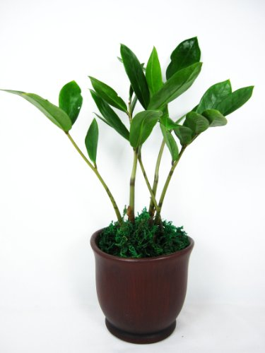 9GreenBox - Wooden Color Ceramic Pot w/ RARE Z Z Houseplant GOLDEN TREE ZAMIOCULCAS