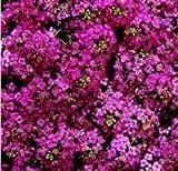 Alyssum - Wonderland Deep Rose - 500 Seeds