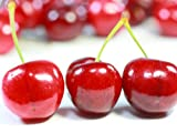 【6か月枯れ保証】【春・夏に収穫する果樹】サクランボ/アメリカンチェリー 15cmポット  【即日発送対応】