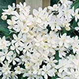 Clematis Armandii In 2 Litre Pot - Climbing Evergreen Plant - Ideal Gift Idea