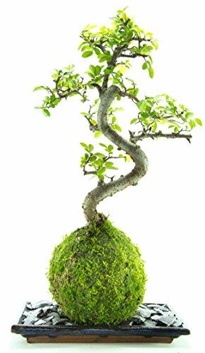bonsai-arbre-live-8-ans-vieux-chinois-orme-interieur-maison-plante-avec-mousse-balle-assiette-et-roc