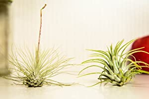 Hinterland Trading Air Plant Tillandsia Buddies! Guatemalan and Argentea Airplants Perfect Little Houseplants