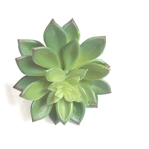 Lucky six All Kinds of Different Succulents,Artificial Succulent Plants Picks For Wedding,Party.