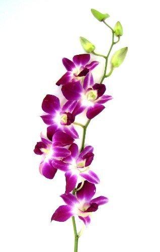 Fresh Cut Flowers Dendrobium Orchids Bom Sonia