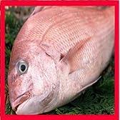 鯛 塩焼き(1.2kg) 三重県産養殖鯛【お祝い】