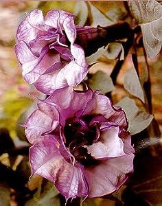 Black Angel Trumpet Datura-Gothic 10 Seeds/Seed