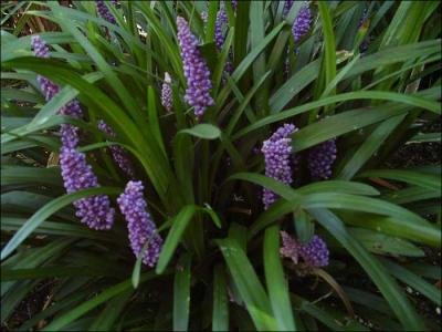 Liriope Muscari Royal Purple images