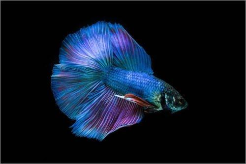 Leinwandbild 60 x 40 cm blauer kampffisch von colourbox for Kampffische arten