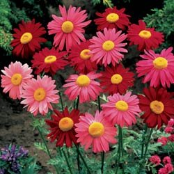Pyrethrum Robinson's Mix - Park Seed Perennial Seeds - Buy Pyrethrum Robinson's Mix - Park Seed Perennial Seeds - Purchase Pyrethrum Robinson's Mix - Park Seed Perennial Seeds (Park Seed, Home & Garden,Categories,Patio Lawn & Garden,Plants & Planting,Outdoor Plants,by Moisture Needs,Regular Watering)