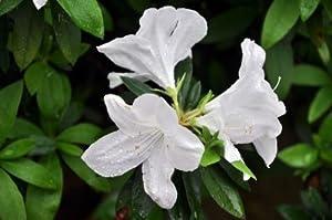 1 Gallon - Delaware Valley White Azalea