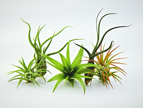 Bliss Gardens 5 Pack Assorted Tillandsia Air Plants (Different Types Of Soil compare prices)
