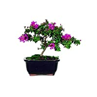 Crepe Myrtle Bonsai Tree in Ceramic Pot - Indoors/Out