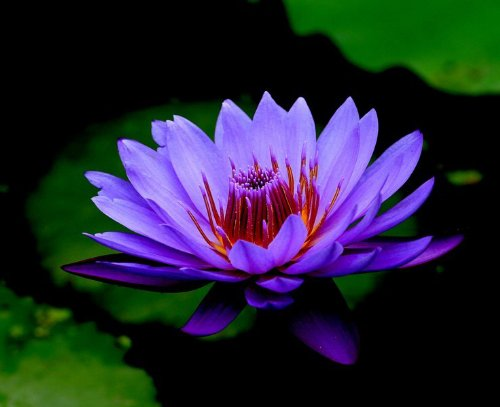 5 Purple Lotus Water Lily Pad Nymphaea Sp Pond Flower Seeds by Smile Seed