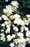 Snowbelle Mockorange - Philadelphus - Low Grower!