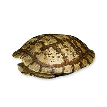 Pond Turtle Shell 4 7 Inches Natural Bone