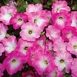 "(APET)~""STRAWBERRY CREAM"" PETUNIA~Seeds!!!!~~~~~2 Toned Beauty!"