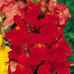 Buy Snapdragon Rocket Cherry Hybrid – Park Seed Snapdragon Seeds