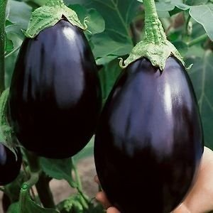 Indian Gardening Brinjal Black Beauty Eggpalnt Vegetable Seeds