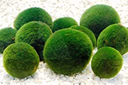 5 Nano Luffy Ball - Marimo Moss Ball for Small Aquarium & Decoration