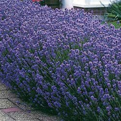 Lavender Munstead - Park Seed Lavender Seeds - Buy Lavender Munstead - Park Seed Lavender Seeds - Purchase Lavender Munstead - Park Seed Lavender Seeds (Park Seed, Home & Garden,Categories,Patio Lawn & Garden,Plants & Planting,Outdoor Plants,by Moisture Needs,Regular Watering)