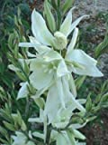 GardenHouse Yucca filamentosa AGM - Evergreen grass-like shrub with stunning creamy white flowers