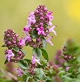Wildflower - Large Thyme - 750 Seeds