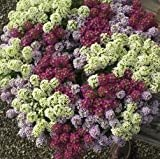 Alyssum - Wonderland Mixed - 2500 Seeds