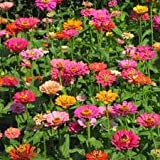 Search : 1/2# Pound Zinnia Elegans, California Giant Mix Wildflower Seeds Bulk