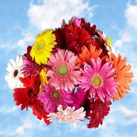 Gerberas Assorted Colors 120 Flowers