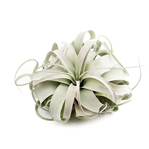 MakersKit Exotic Xerographica Air Plant, Large