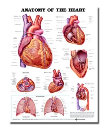 Anatomy of the Heart Anatomical Chart - 1